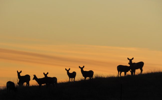deer_sunset