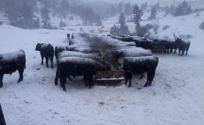 winter_cows_1