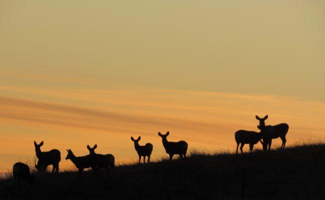deer_sunset